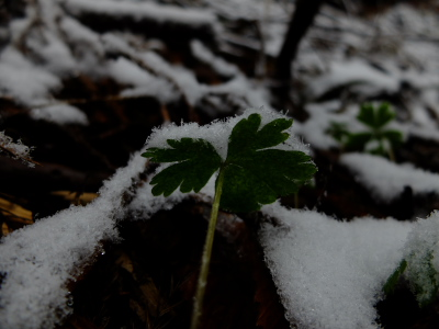 雪 ニリンソウ