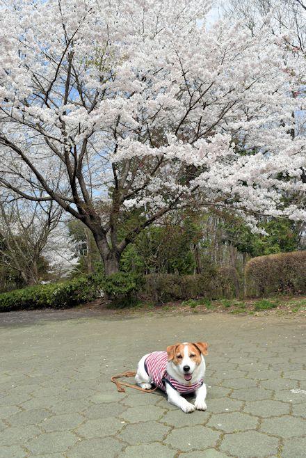 2015長岡公園0414