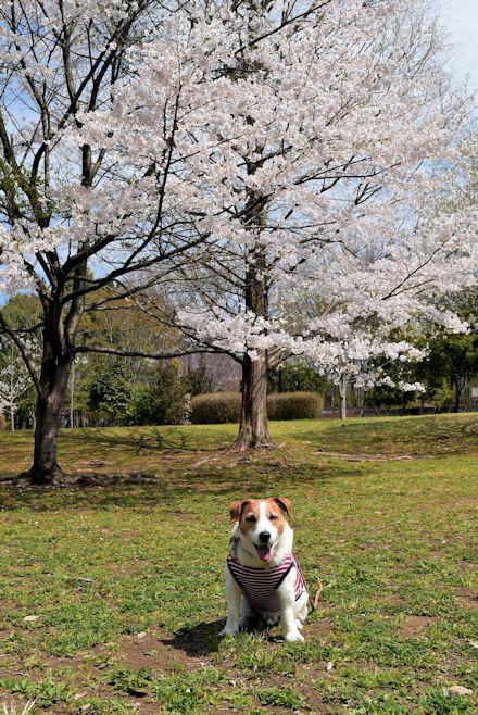 2015長岡公園0417
