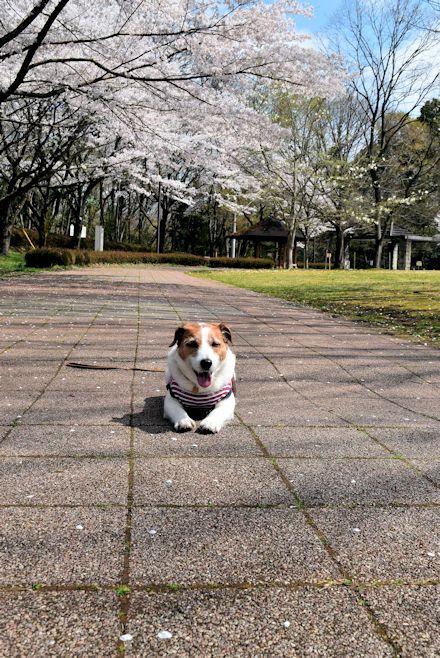 2015長岡公園0418