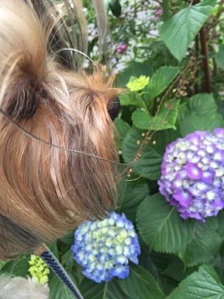 花シリーズ紫陽花