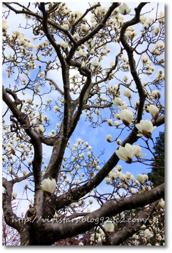 白木蓮を見上げる