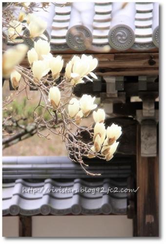 十輪寺の白木蓮0002