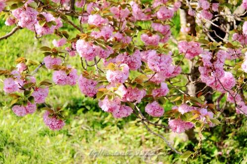 里桜001