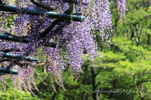 蓮花寺の藤の花01