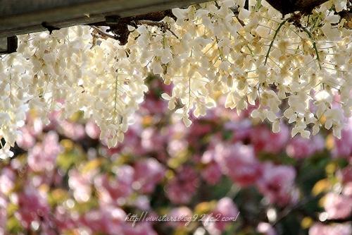 蓮花寺池公園の藤の花