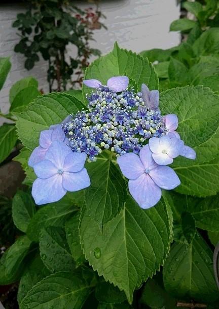我家の紫陽花です