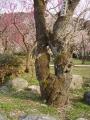 越生梅林 保存木紅梅