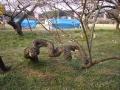 越生梅林 強かな木