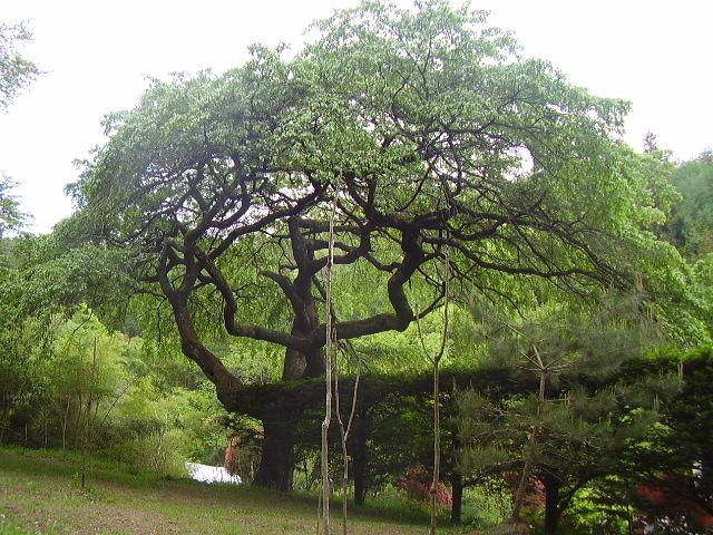 裏手高台の枝垂桜の古木