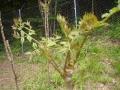 ウドとタラの芽