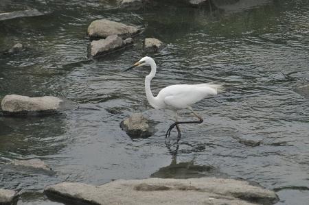 alba-breeding1