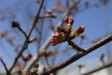 20150328北千里の桜