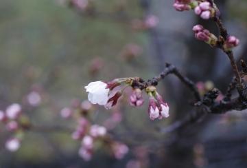 20150329北千里の桜2