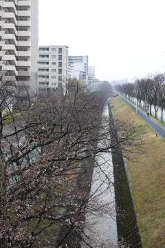 20150329北千里の桜3