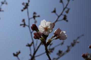 20150330桜1