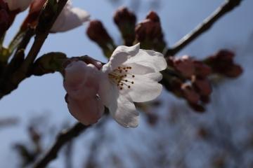 20150330桜2