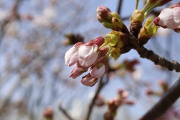 20150331桜1