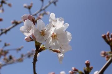 20150331桜2