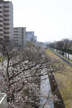 20150331桜3
