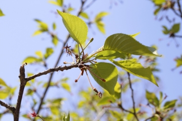 20150423北千里の桜1