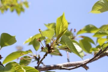 20150423北千里の桜2