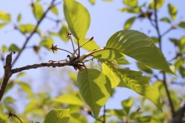 20150426北千里の桜