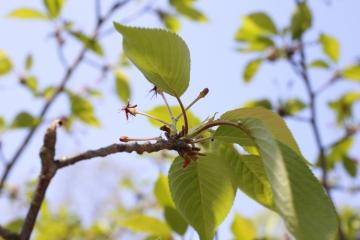 20150425北千里の桜