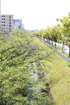20150430北千里の桜4