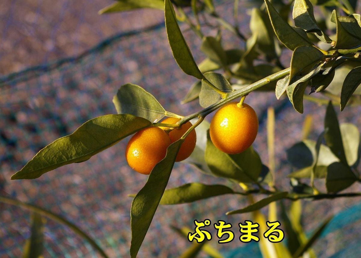 1K_putimaru0311_0c1.jpg