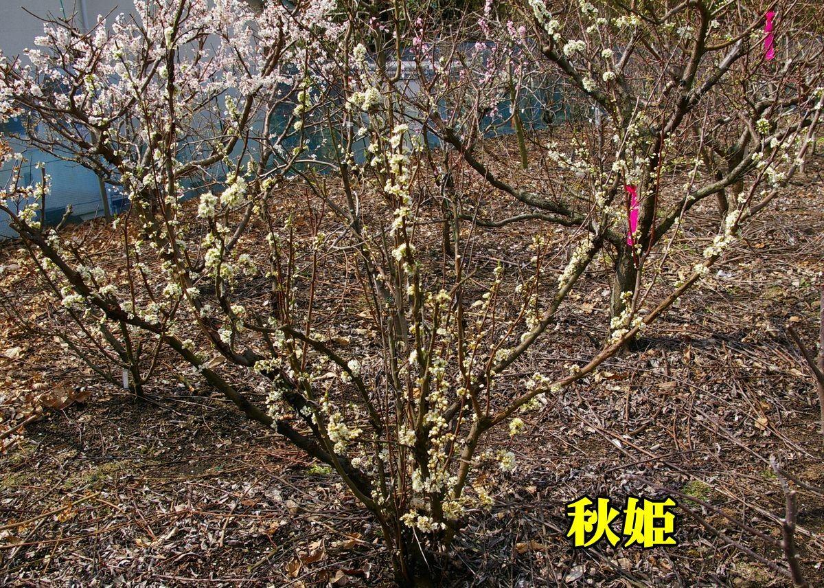 1S_akihi150318_041.jpg