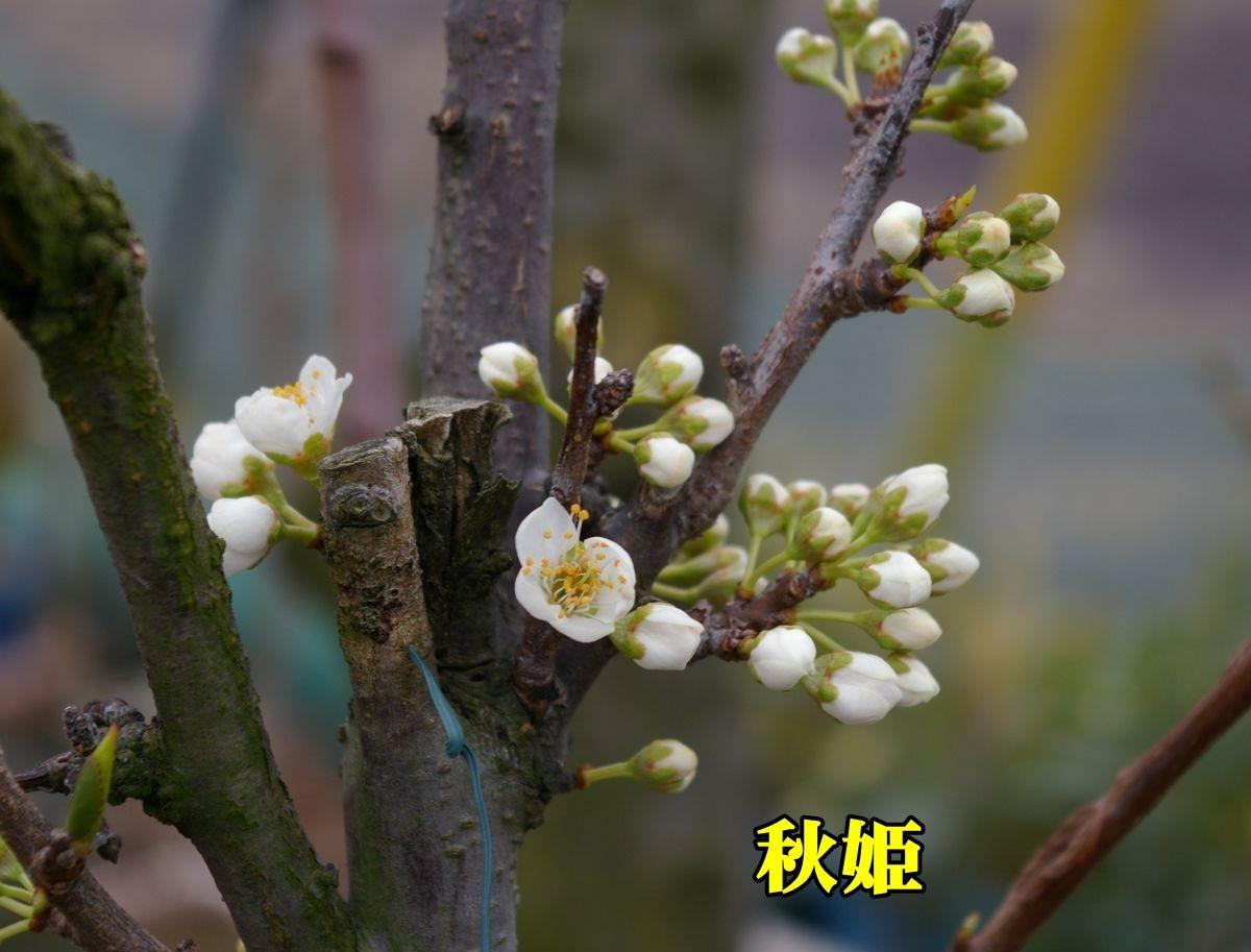 1S_akihime0101_0c1.jpg