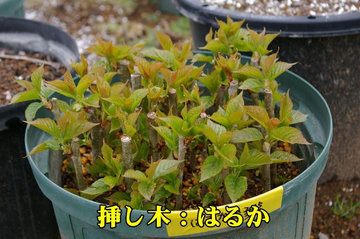 1S_haruka150321_006.jpg