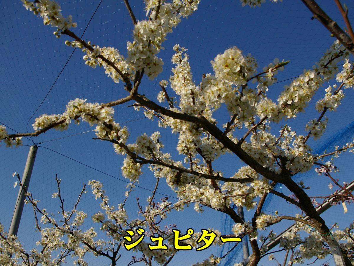 1S_jyupi150324_007.jpg