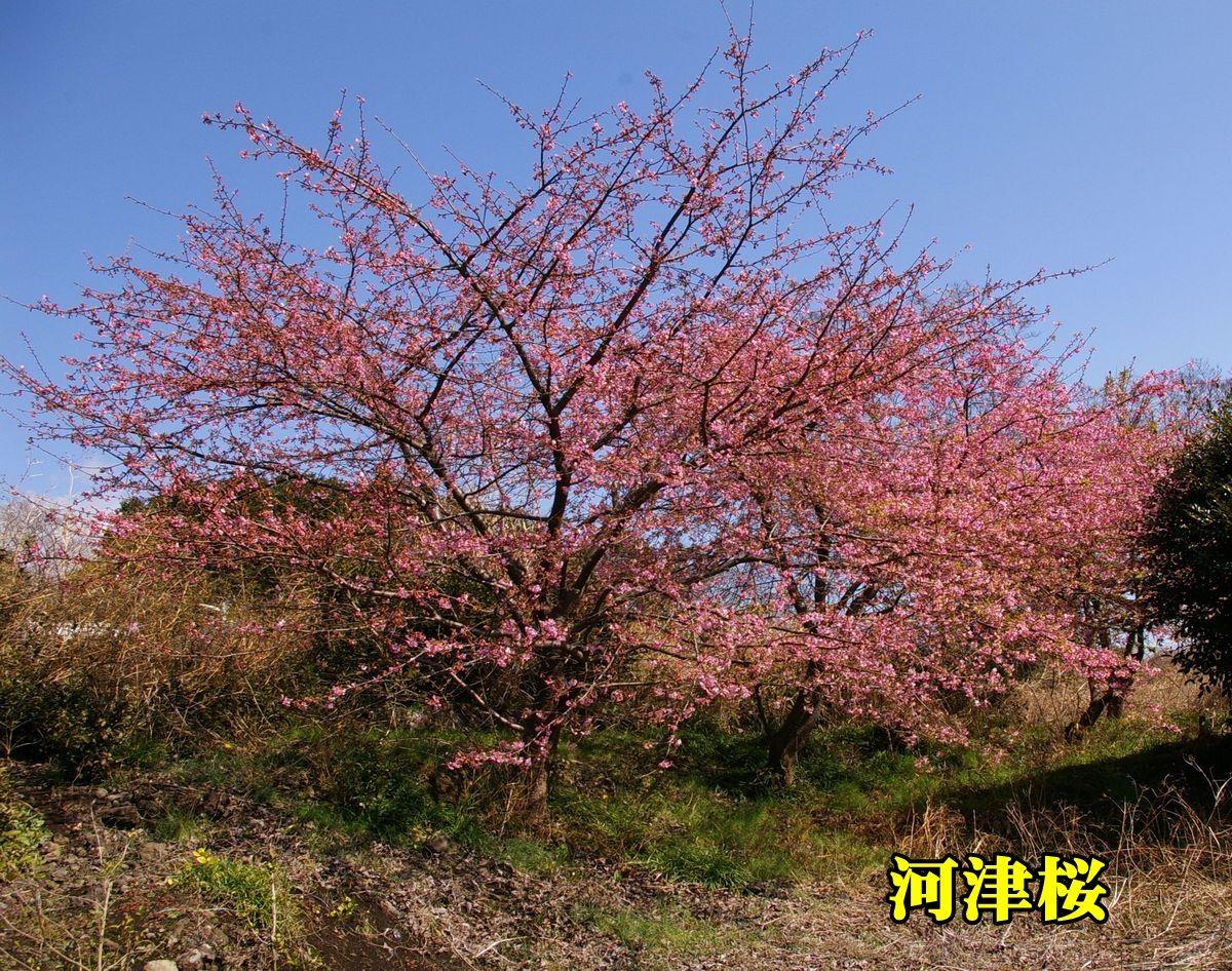 1S_kawadu0227_0c1.jpg