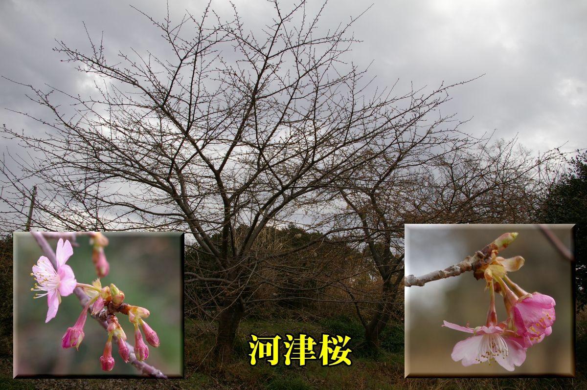 1S_kawazu0207c1.jpg