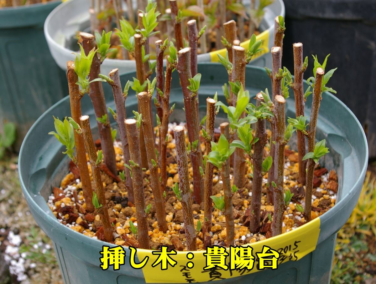 1S_kiyou50321.jpg