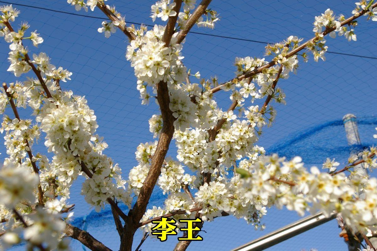 1S_sumomo150324_006.jpg