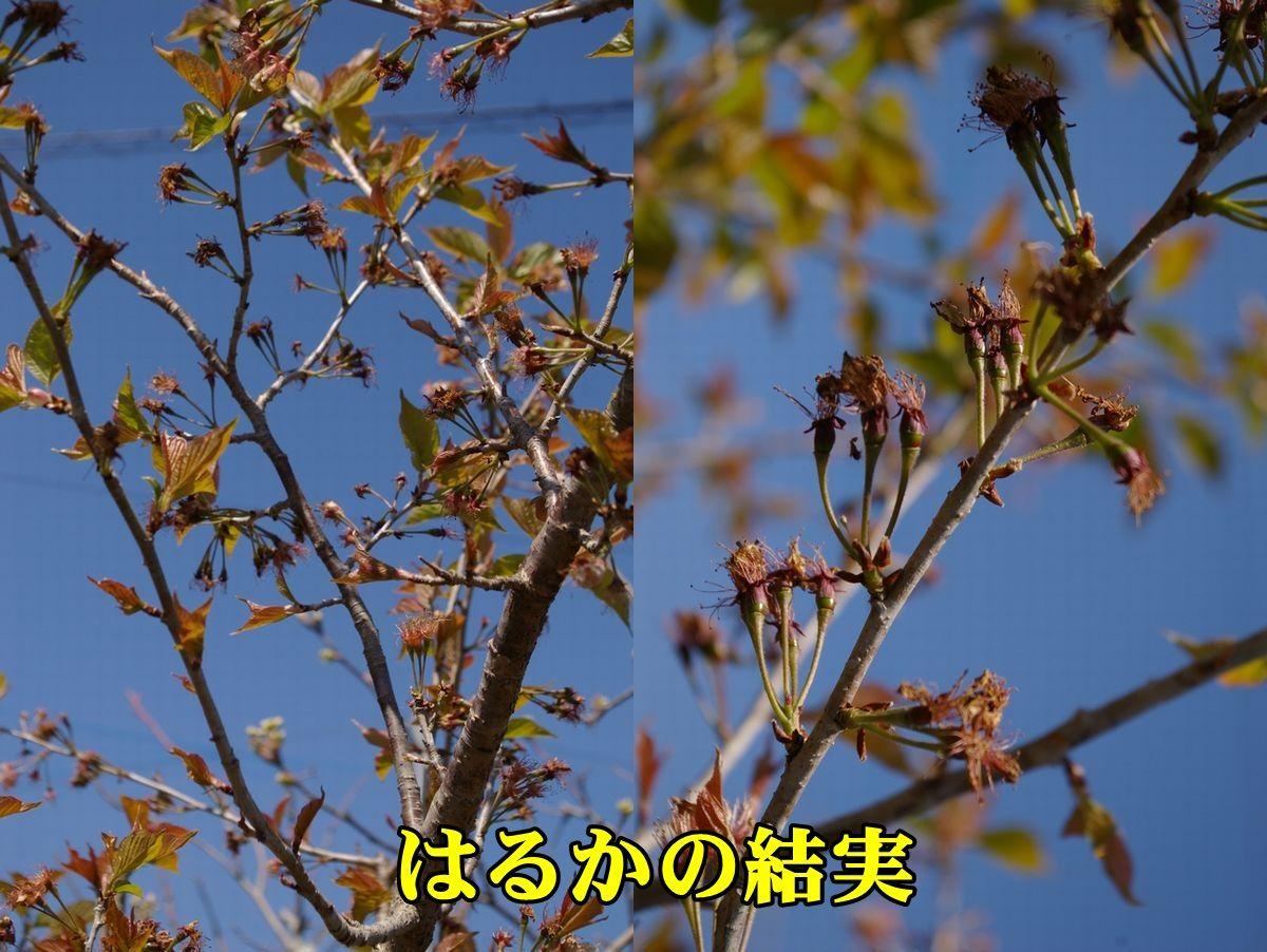 1T_haruka150326_019.jpg