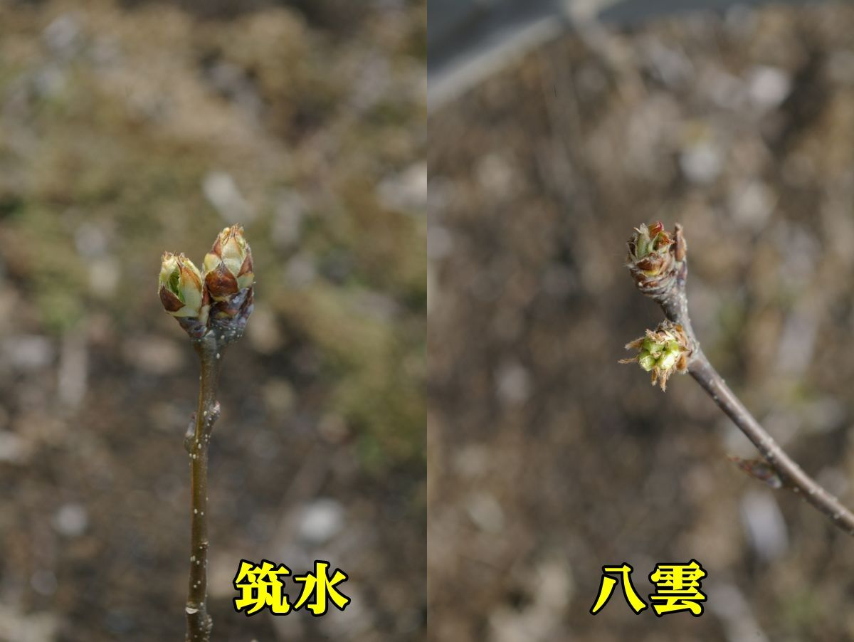 1Tiku_yaku150328_013.jpg