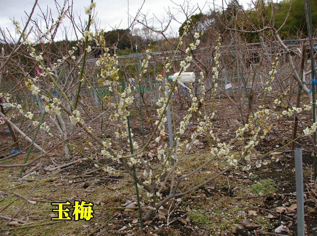 1U_gyokubai0309_0c1.jpg