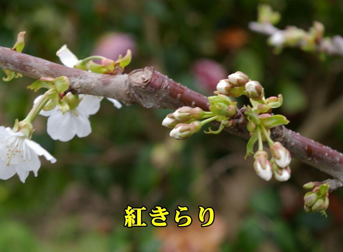 1benikirari150413_004.jpg