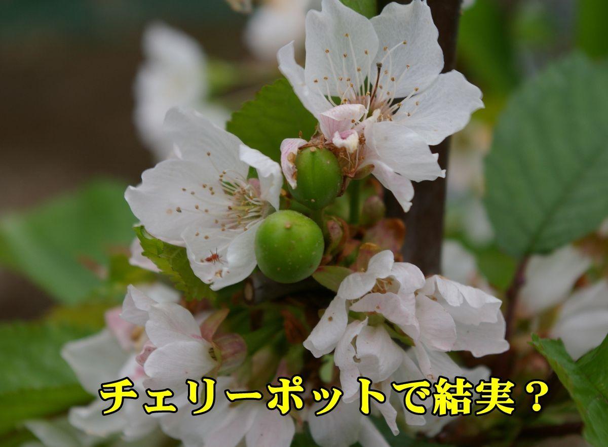 1cherypot150413_012.jpg