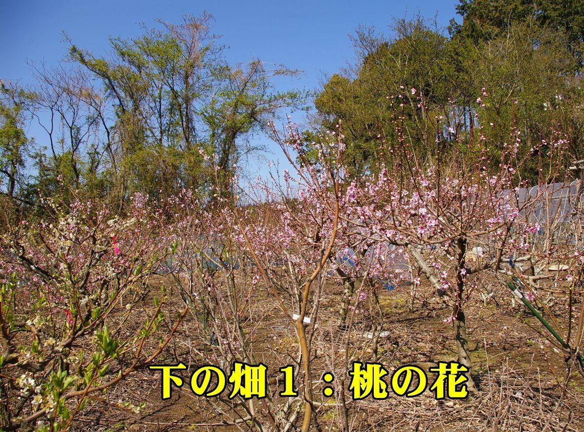 1hata1_momo150326_002.jpg