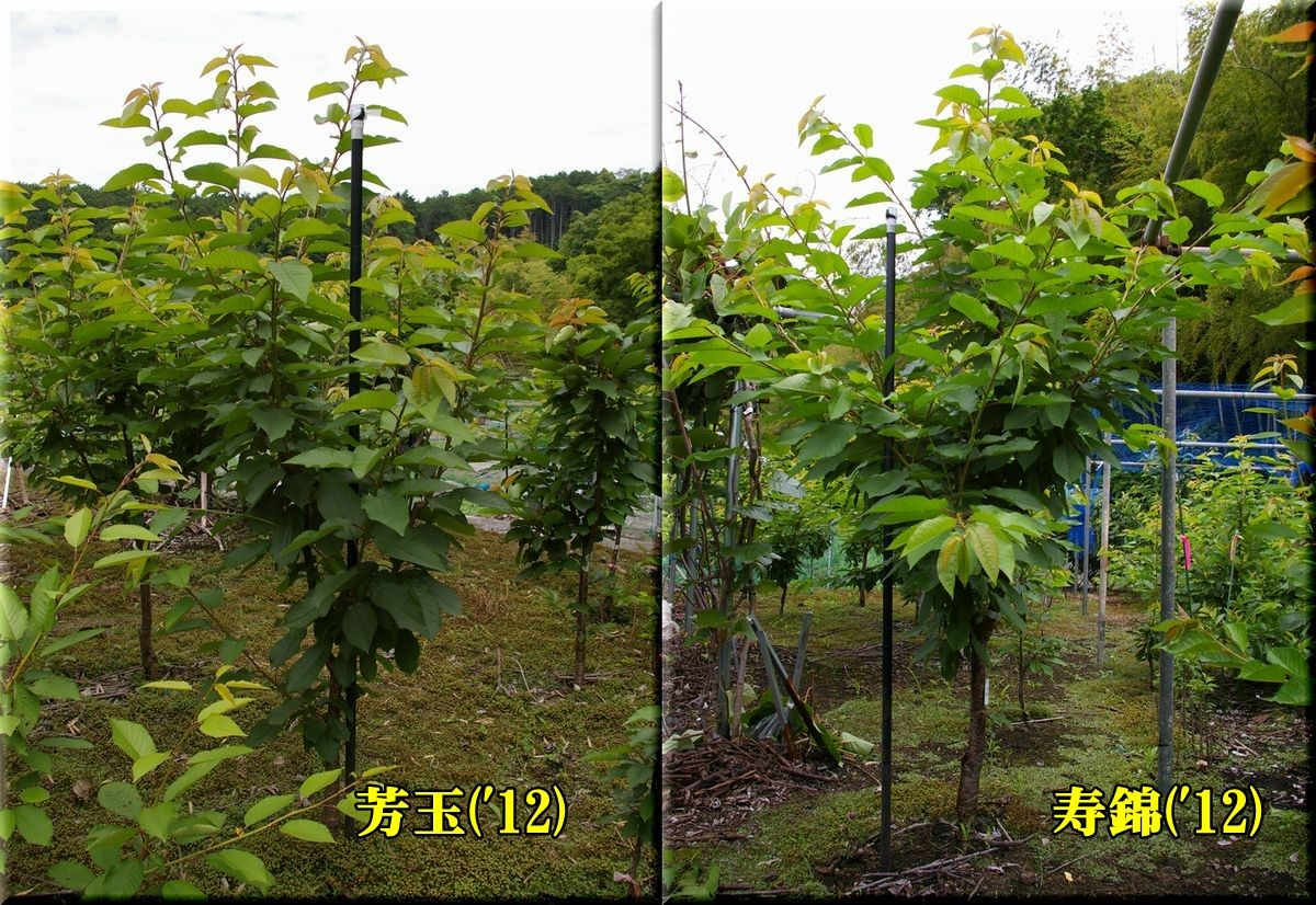 1hougyoku12_iwainisiki12.jpg