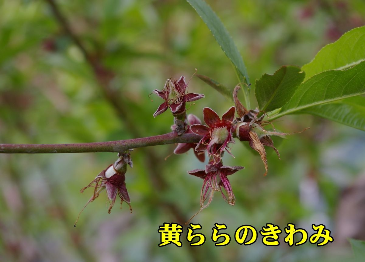 1kiraranokiwa150422_028.jpg