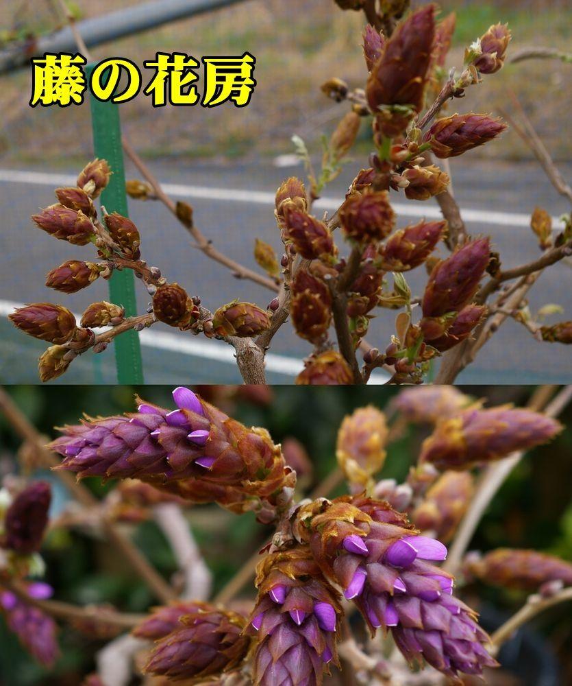 1murasaki150410_007.jpg
