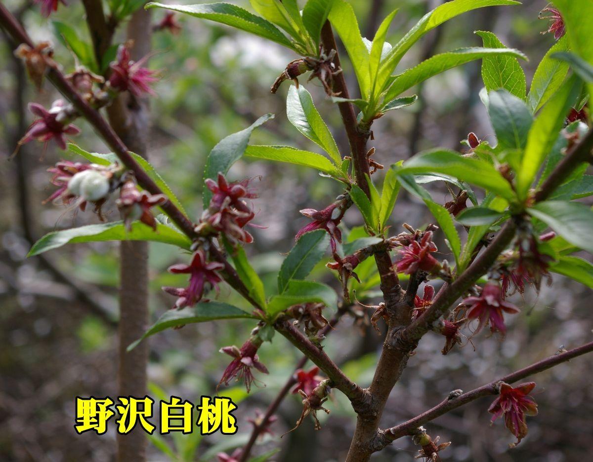 1nozawahakutou150422_010.jpg