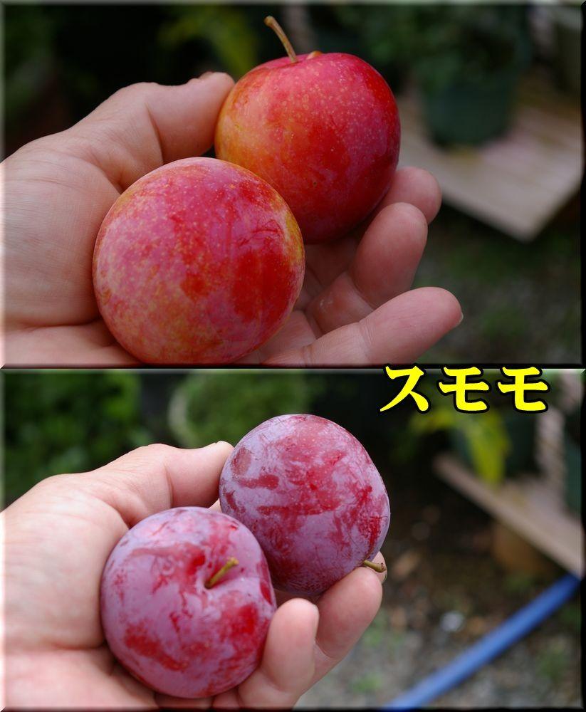 1sumomo150707_008.jpg