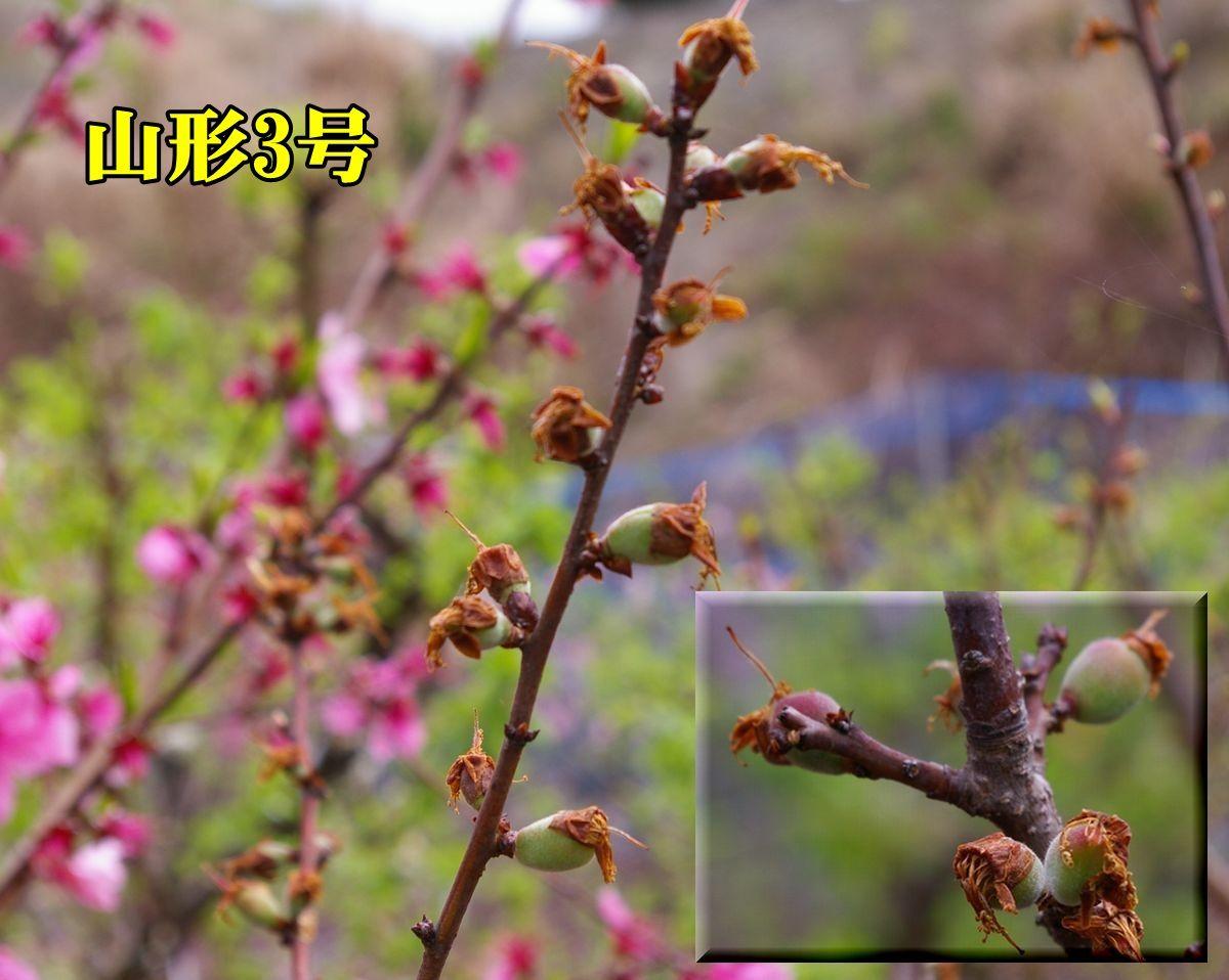 1yamagata150404_007.jpg